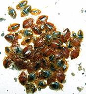 175_Bedbugs
