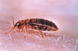250_Bedbug (1)